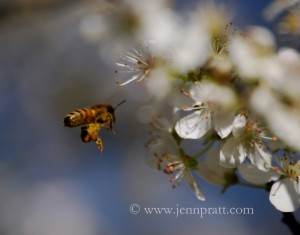 Honeybee coming in for a landing on our Plum Tree